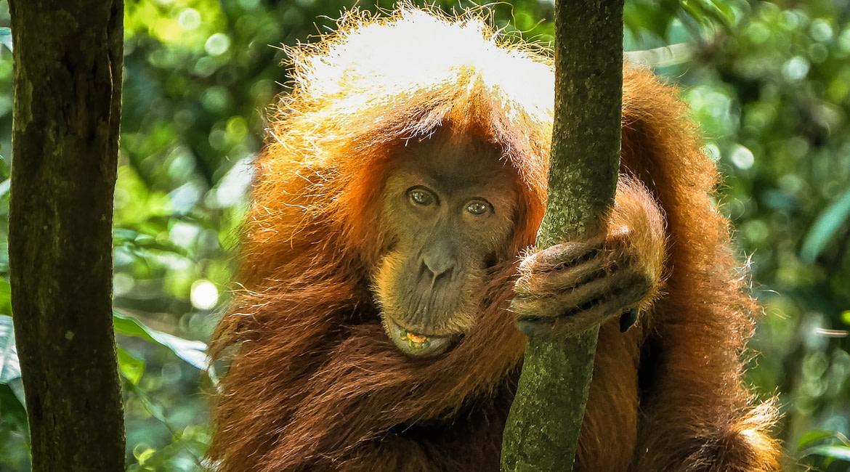Vidám reggel a szumátrai dzsungelben
