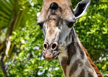 Zimbabwe népmese: A zsiráf és a kis madár örök barátsága