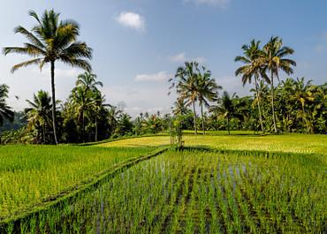 Indonéz népmese a rizs eredetéről