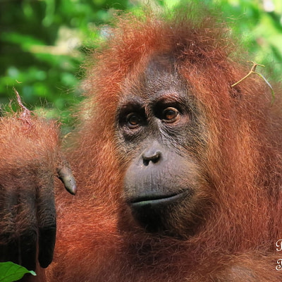 Mina, a szumátrai dzsungel egyik nevezetessége - Tüske Ágnes írása