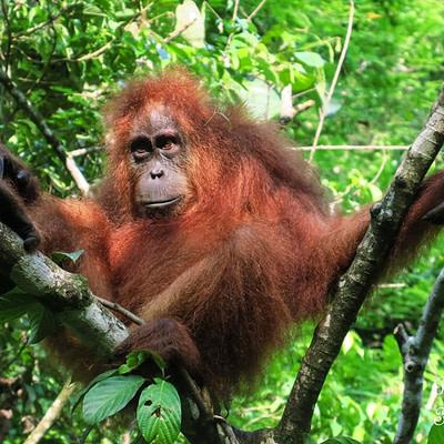 Reggeli kalandok a szumátrai dzsungelben - Tüske Ágnes írása